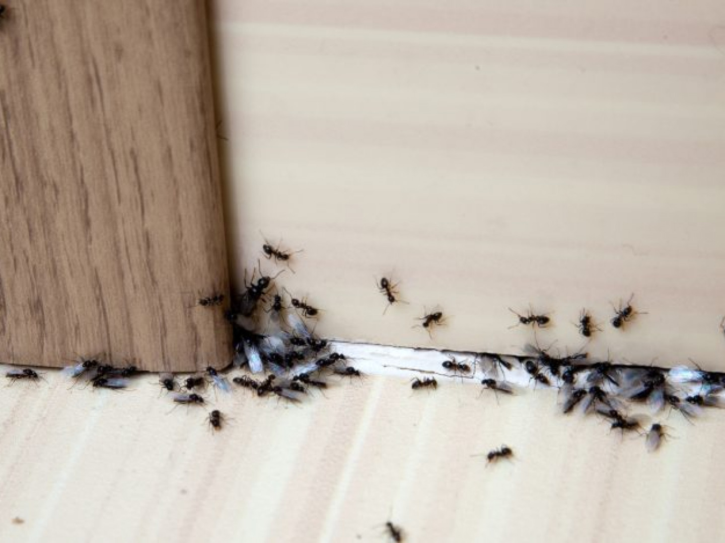 Ant Control services in Amelia, OH
